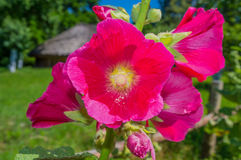 Pink mallow. Flowers in the garden on a sunny day Stock Photos