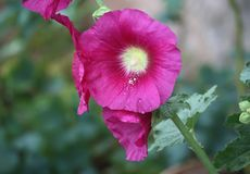 Pink mallow plants. Pink mallow plant with blooming flowers in the summer garden Royalty Free Stock Photo