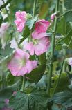 Pink mallow plants. Pink mallow plant with blooming flowers in the summer garden Stock Photos
