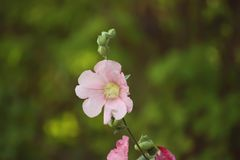Pink mallow plants. Pink mallow plant with blooming flowers in the summer garden Stock Photography
