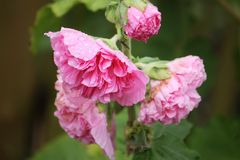 Pink mallow plants. Pink mallow plant with blooming flowers in the summer garden Stock Photo