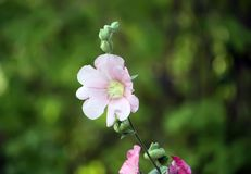 Pink mallow plants. Pink mallow plant with blooming flowers in the summer garden Stock Images
