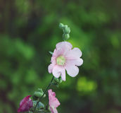 Pink mallow plants Royalty Free Stock Images