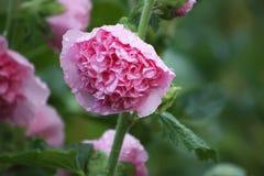 Pink mallow plants Stock Photo