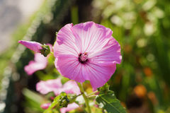 Pink mallow with raindrops Royalty Free Stock Images
