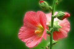 Free Pink Mallow With Drops Royalty Free Stock Photo - 3567515