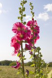 Pink mallows. Pink mallow flowers on blue sky on top of hills Royalty Free Stock Photos