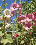 Pink mallows. Pink and white mallows in garden on blue sky Royalty Free Stock Photo