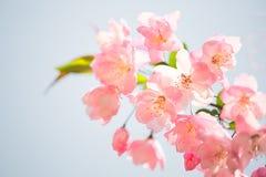 Malus halliana. Pink Malus halliana of spring Stock Images