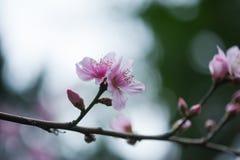 Red malus spectabilis flower - chinese crabapple. Pink malus spectabilis flower also know as chinese crabapple in springtime, Chengdu, China Stock Photo