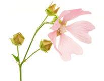 Pink Malva Stock Image