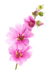 Pink malva flowers. Isolated on white Stock Photography