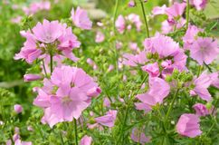 Pink malva flowers. In garden on a sunny summer day Royalty Free Stock Photo