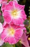 Pink malva. India. Stock Images
