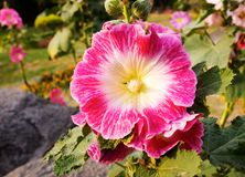 Pink malva. India. Stock Photography