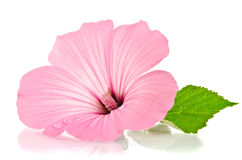Pink malva. Mallows. Over the white Stock Images