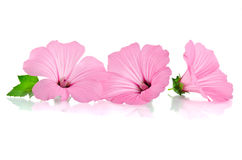 Pink malva. Mallows. Over the white Royalty Free Stock Images