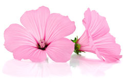 Pink malva. Mallows. Over the white Royalty Free Stock Photos