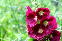 Pink Malva, plants in the botanical garden,. Malvaceae Stock Photography
