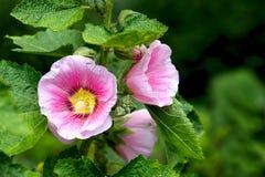 Pink Malva, plants in the botanical garden, Malvaceae.  Royalty Free Stock Photography