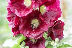 Pink Malva, plants in the botanical garden, Malvaceae. Bumblebee collects honey and carries pollen Stock Images