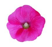 Pink malva silvestris flower Royalty Free Stock Images