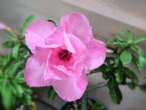 Pink malva silvestris flower Royalty Free Stock Image