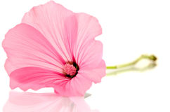 Pink malva Silvestris. Mallows. Over the white Stock Image