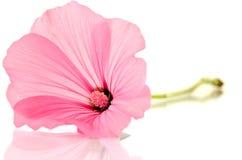 Pink malva Silvestris. Mallows Stock Image