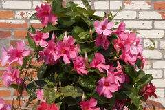 Pink Mandevilla. Plant Against Brick Wall royalty free stock image