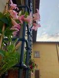Pink Mandevillas next to ironwork and yellow building stock photos