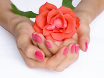 Pink manicure and scarlet rose Stock Photo