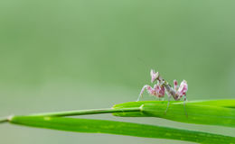 Pink Mantis in nature Royalty Free Stock Photography