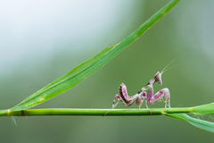 Pink Mantis in nature Royalty Free Stock Images