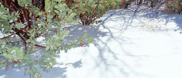 Pink Manzanita Arctostaphylos Pringlei: Shadows on the Snow Horizontal. This is an image Pink Manzanita Arctostaphylos Pringlei on a frigid winter morning after stock images