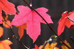 Pink fall leaf maple tree Stock Photo