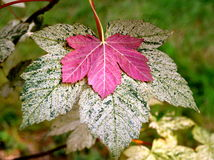PINK MAPLE LEAF Royalty Free Stock Photo