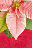 Pink Marble Poinsettia Royalty Free Stock Photos