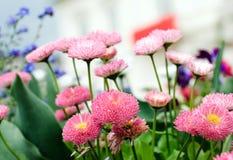 Pink Margarites Stock Photos
