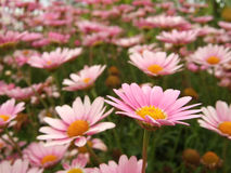 Pink Marguerite Stock Image