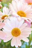 Pink marguerite Stock Photo