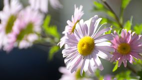 Pink Marguerite Daisy. (Paris Daisy) Blooming. Latin Name: Argyranthemum frutescens. Selective focus on single flower sway on wind stock video