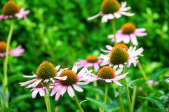 Pink marguerite flowers Royalty Free Stock Photos