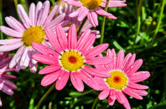 Pink marguerite flowers Royalty Free Stock Images