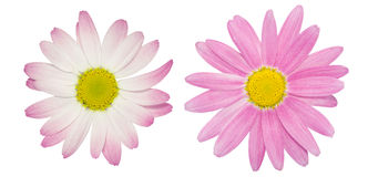 Pink marguerite Stock Photo