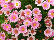 Pink Marguerites Stock Image