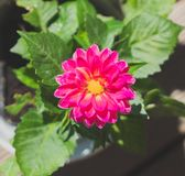 Pink marigold flower. Top view of a bright pink marigold flower royalty free stock photos