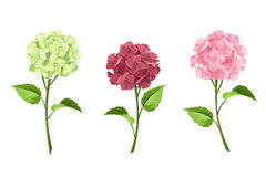 Pink, maroon and green hydrangea flowers. Vector illustration. Royalty Free Stock Photos