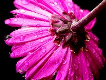 Pink/Mauve Daisy. A macro shot of a wet pink/mauve daisy facing down. Shot with a Minolta A1 SLR camera Royalty Free Stock Photo