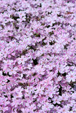 Pink meadow Stock Images